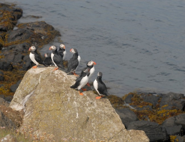 The Puffins!